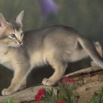 Abyssinian blue kitten