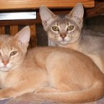 Fawn and blue abyssinians