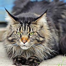 Lycus Mainecoon1