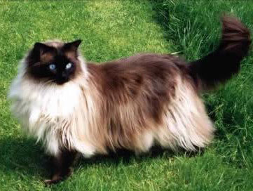Ragdoll Cat on the grass