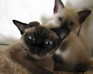 Siamese Cat and Kitten