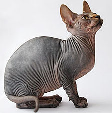sphynx cat