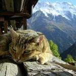 tibetan_cat