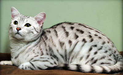 Egyptian_Mau_cat