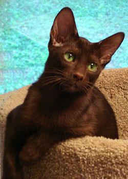 Havana Brown Cat - Very Brown Cat! | Cat Breeds And Types ...