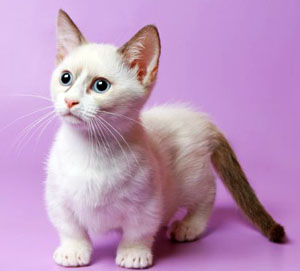 Munchkin Cat – Cat-Dachshund | Cat Breeds And Types Of Cats