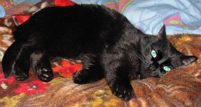 black cat / bombay