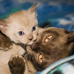 burmese cat and kitten