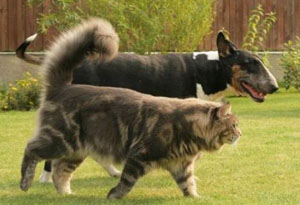 maine coon with a dog