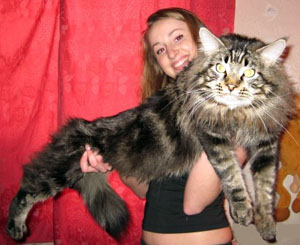 maine coon, big cat